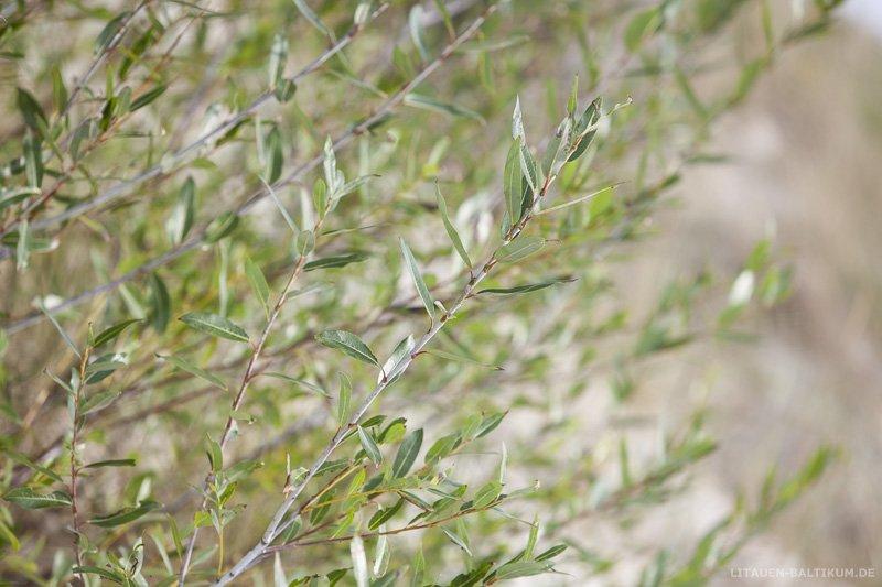Kurische Nehrung: Pflanzen auf den Dünen