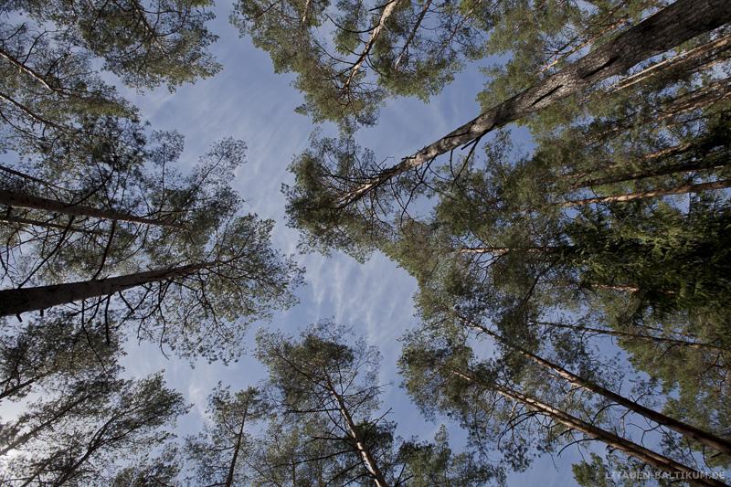 Litauische Wälder