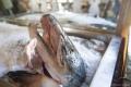 Hotel Šturmų Švyturys: Frischer Fisch